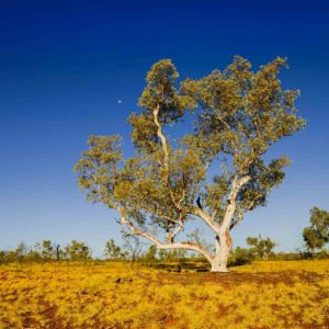 Tree in Australian landscape